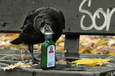 Crow Trying to Drinking ©Cutest Paw