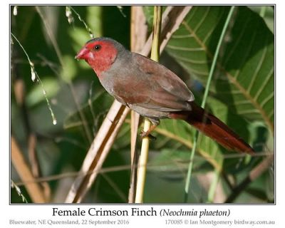 Crimson Finch (Neochmia phaeton) Female by Ian