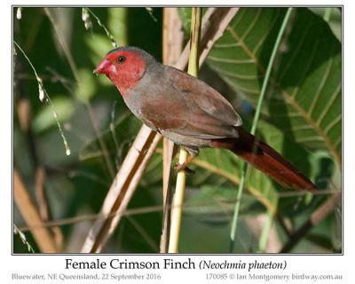 Crimson Finch (Neochmia phaeton) Female by Ian