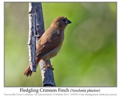 Crimson Finch (Neochmia phaeton) Fledgling by Ian