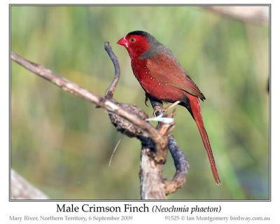 Crimson Finch (Neochmia phaeton) Male by Ian