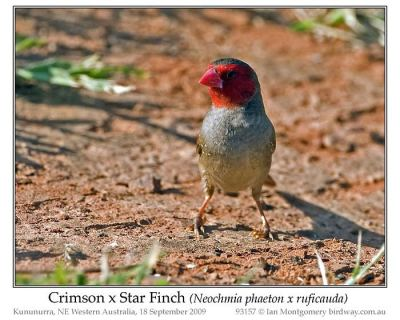 Crimson Finch (Neochmia phaeton) X Star Hybrid by Ian