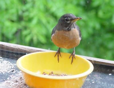 American Robin (Turdus migratorius) ©Laura Erickson
