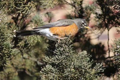 American Robin (Turdus migratorius) Female-©WikiC