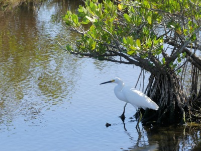 Great Egret Relaxing at Black Point Dr.