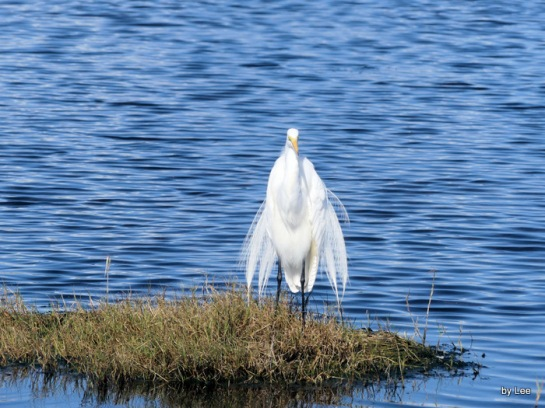 Great Egret Zoomed