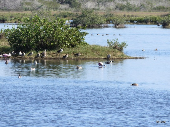 Mixture of birds at Merritt Island NWR by Lee