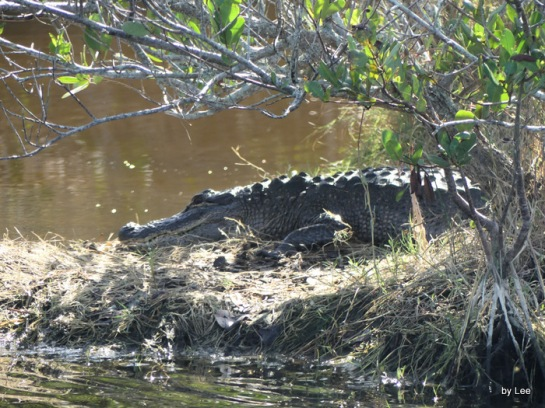 Alligator zoomed
