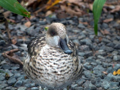 Marbled Duck (Marmaronetta angustirostris) at Lowry Park Zoo by Lee