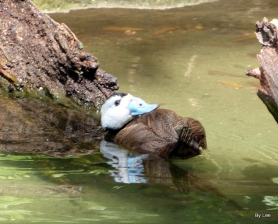 ANS-Anat White-headed Duck (Oxyura leucocephala)