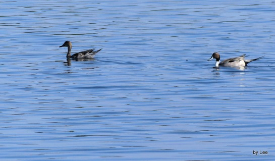 10-northern-pintails-blackpoint-dr-merritt-wr-12-27-16-178