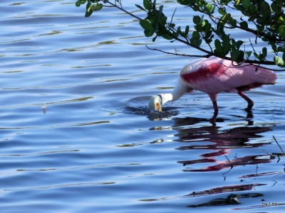 Roseate Spoonbill by Lee at Merritt Island NWR