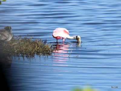 Roseate Spoonbill at Merritt Island Black Point Drive by Lee