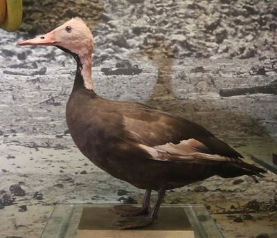Pink-headed Duck (Rhodonessa caryophyllacea) Specimen Extinct ©WikiC