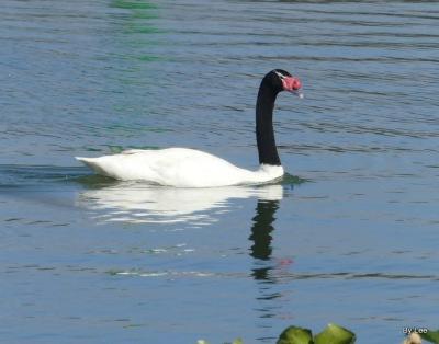 Black-necked Swan at Lake Morton