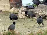 Coots with one with foot up