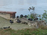 Coots gathering at the shore