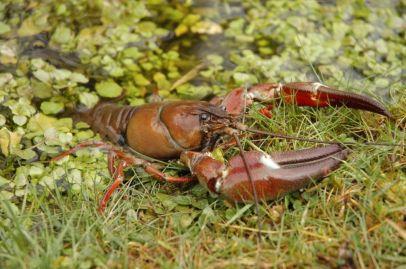 crayfish-at-shoreline-aaronlesieur