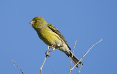 island-canary-hbw-alive
