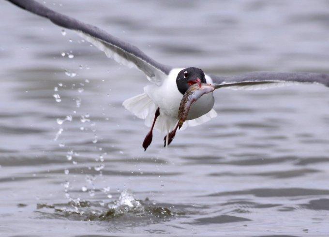laughinggull-caught-fish-richardseaman