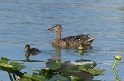 Momma Mallard and 2 Babies at Lake Morton