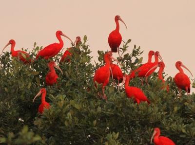 Scarlet Ibis Rookery ©Stevebird Wildlife