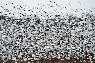SnowGeese-flock-LakeTexoma.com-HagermanNWR.png