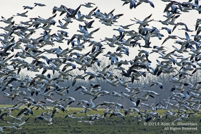 SnowGeese-flock-over-field-HagermanNWR.KimSheridan.jpg