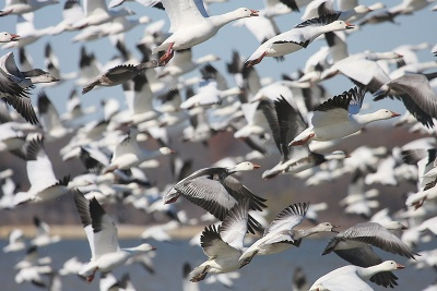 SnowGeese-fyling-closeup.PottsboroCCommerce.jpg