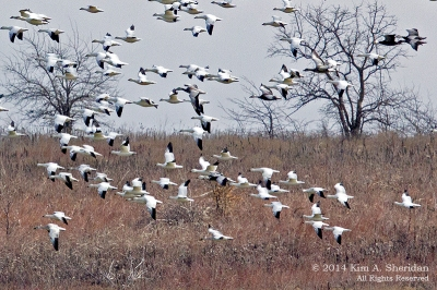 SnowGeese-HagermanNWR-brush.KimSheridan.jpg