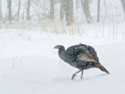 Turkey in Snow ©SABaking