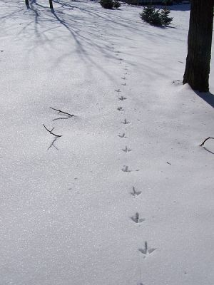 Turkey Track in Snow ©WikiC