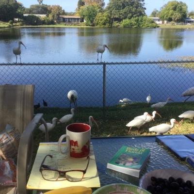white-ibises-birdbook-webel-backyard-ad2016