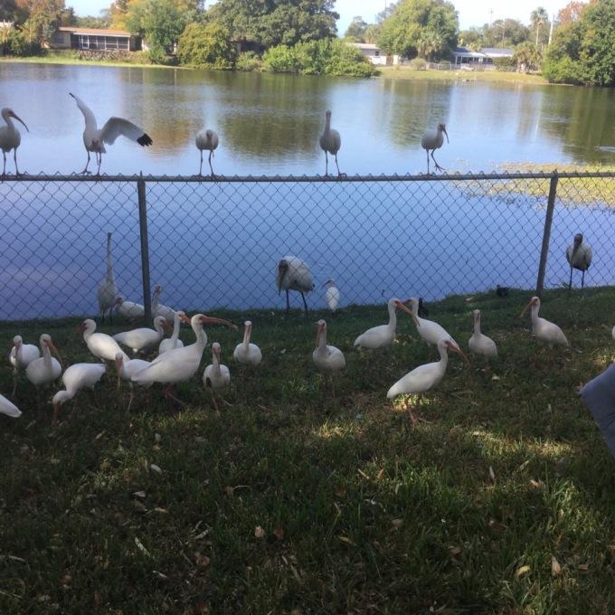 white-ibises-webel-backyard-fence