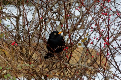 Blackbird Hedge Thorns Winter Bird ©Freegreatpicture