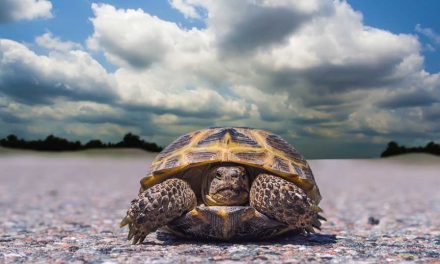boxturtle-cloudy-day-animalhub