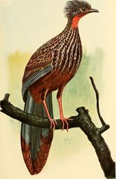 Band-tailed Guan (Penelope argyrotis) ©Drawing WikiC