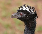 Bare-faced Curassow (Crax fasciolata) Female ©WikiC
