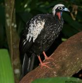 Black-fronted Piping Guan (Pipile jacutinga) ©BirdPhotos.com
