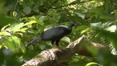 Black Guan (Chamaepetes unicolor) by JyrkiHokkanen©©