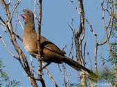 Buff-browed Chachalaca (Ortalis superciliaris) ©taenos