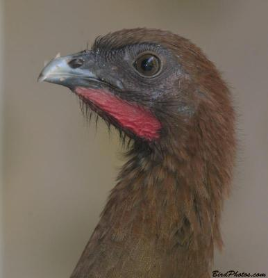 Chestnut-winged Chachalaca (Ortalis garrula) close-up ©BirdPhotos.com