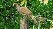 East Brazilian Chachalaca (Ortalis araucuan) ©WikiC