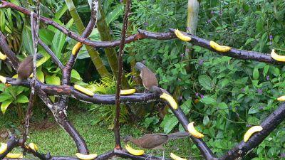 Chestnut-winged Chachalaca (Ortalis garrula) ©WikiC