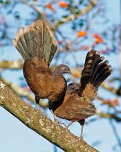 Grey-headed Chachalaca (Ortalis cinereiceps) ©WikiC