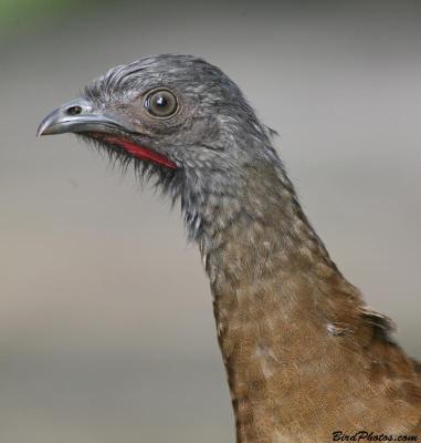 Grey-headed Chachalaca (Ortalis cinereiceps) Close-up ©BirdPhotos.com