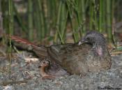 Little Chachalaca (Ortalis motmot) ©BirdPhotos.com