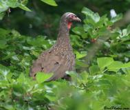 Red-faced Guan (Penelope dabbenei) ©BirdPhotos.com