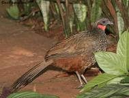 Rusty-margined Guan (Penelope superciliaris) ©BirdPhotos.com