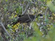 Scaled Chachalaca (Ortalis squamata) ©BirdPhotos.com